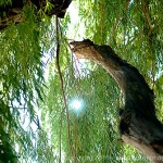 Humbolt Park - A willow tree